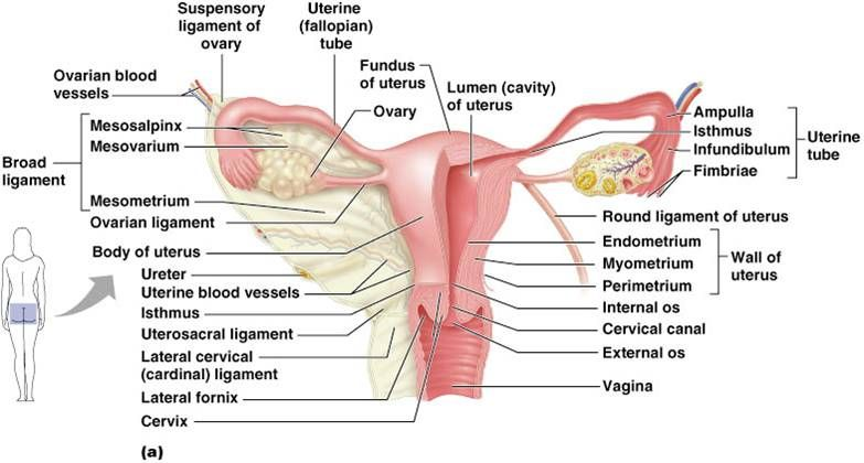 Female Reproductive System Reproductive System Pinterest