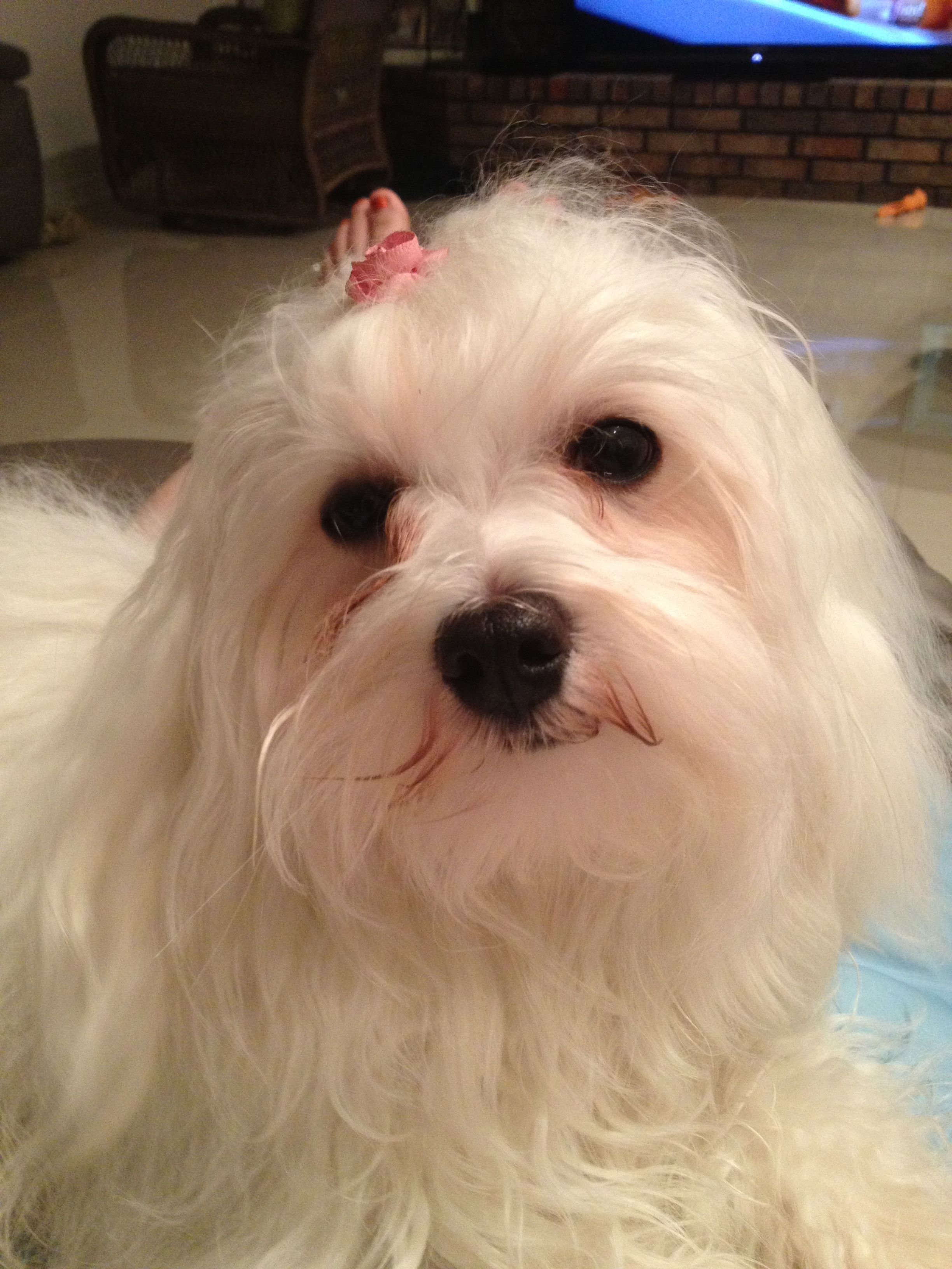 Bella is 15 months old today. Havanese, Havanese dogs
