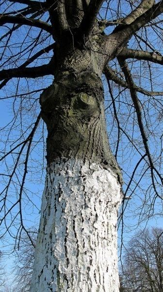 39+ Why do they paint tree trunks white ideas in 2021