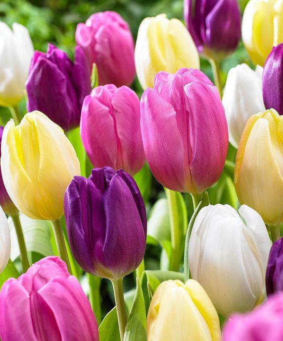 Tulpen Mix 'Regenboog'  product foto