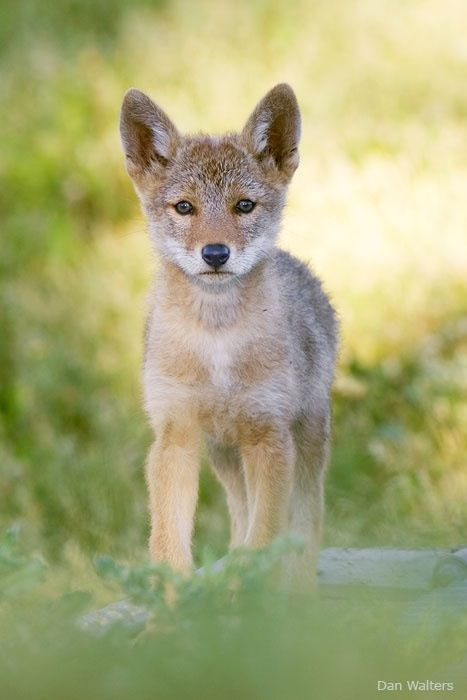 baby coyotes picture - 467×700