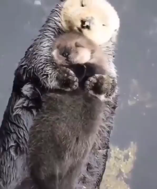 Momma sea otter making sure her pup is comfy
