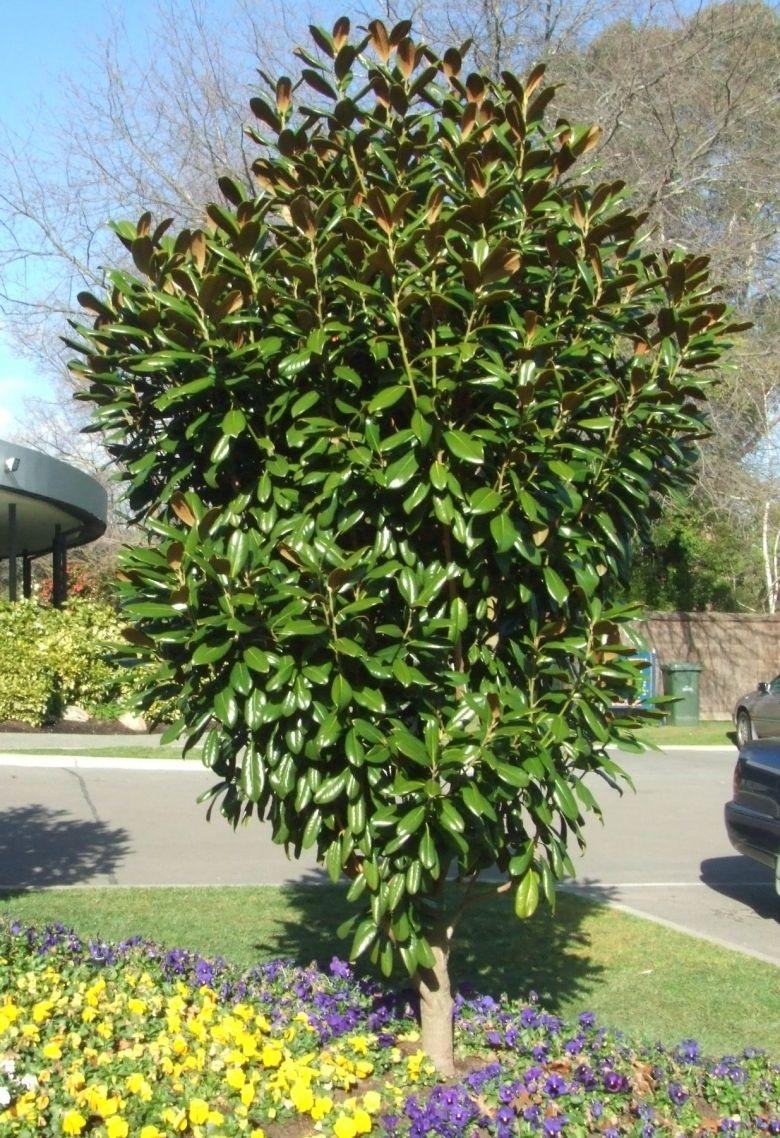 Magnolia Grandiflora Greenback A Newer Release Of The Evergreen