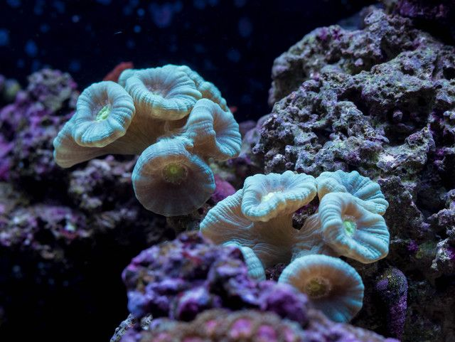 Candy Cane Corals Get Their Name From The Alternating Stripes On It S Polyps Reef Tank Coral Candy Cane
