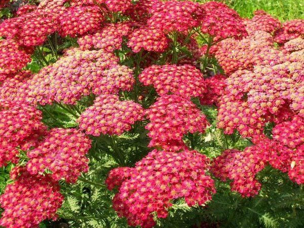 Yarrow is a low-water plant which supports beneficial insects and can be used for fresh and dried cut flower arrangements.  Many varieties are available.