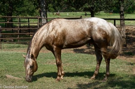 Appaloosa Horses   Gay Bars Silver, Appaloosa Stallion in Texas