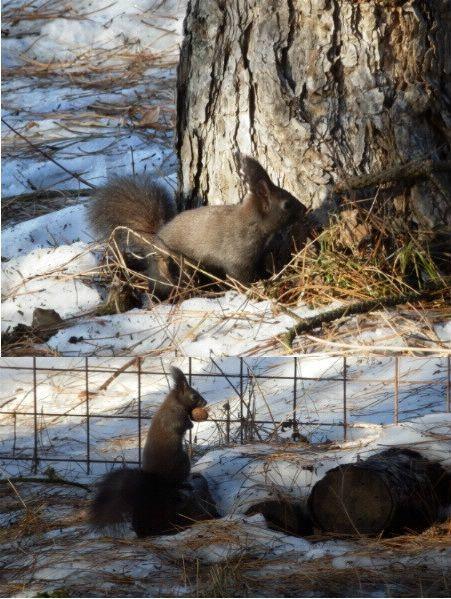 Vivace, agile e simpatico scoiattolo tenta  di nascondere la sua noce.