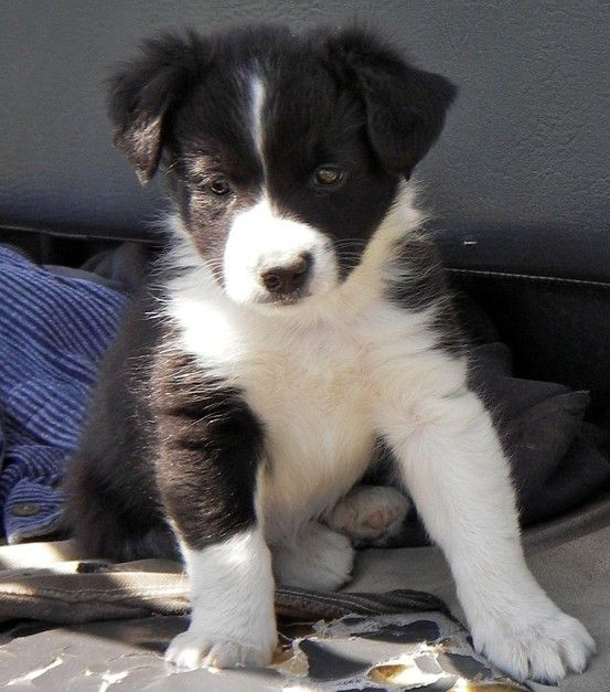 Border Collie Just Adorable Bdd Collie Puppies Collie
