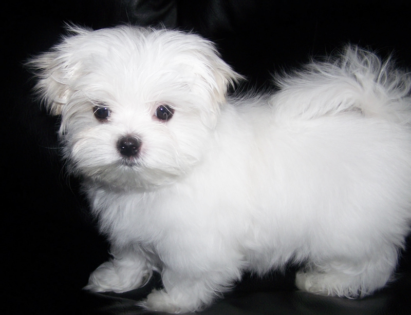 Pictures Of Maltese Puppies - Miniature Maltese Puppies For