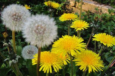 La planta milagrosa que todos quieren matar   Plantas medicinales ...