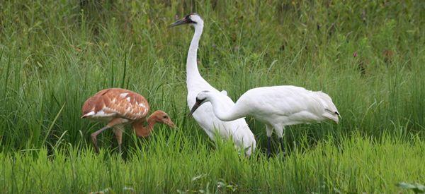 Grus americana / Grulla Trompetera/ Whooping Crane / Grue blanche/Schreikranich