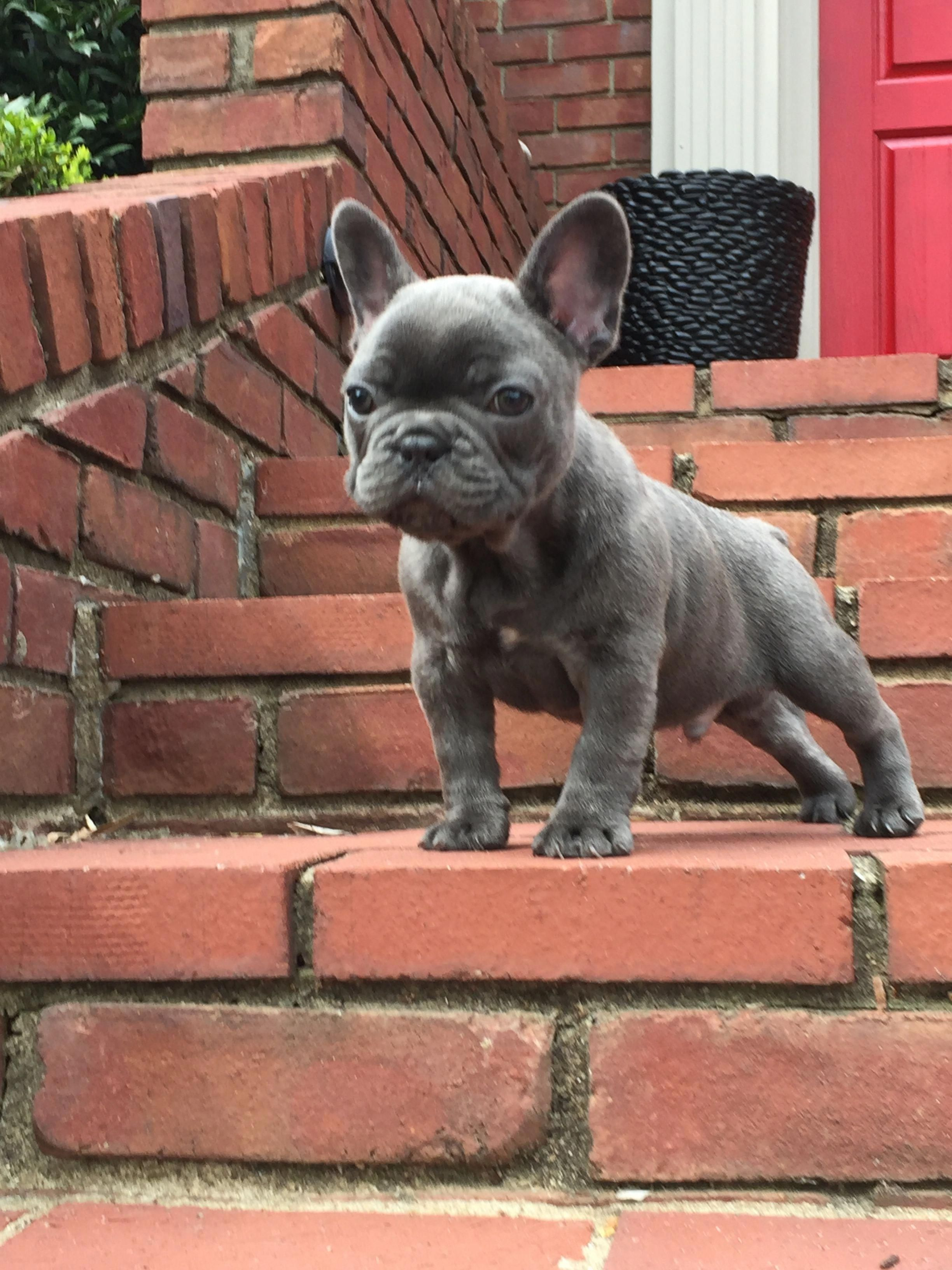 Blue Brindle French Bulldog Frenchbulldogsfullgrown Brindle