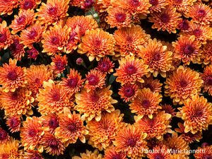 10 Of The Best Fall Perennial Flowers: Chrysanthemum
