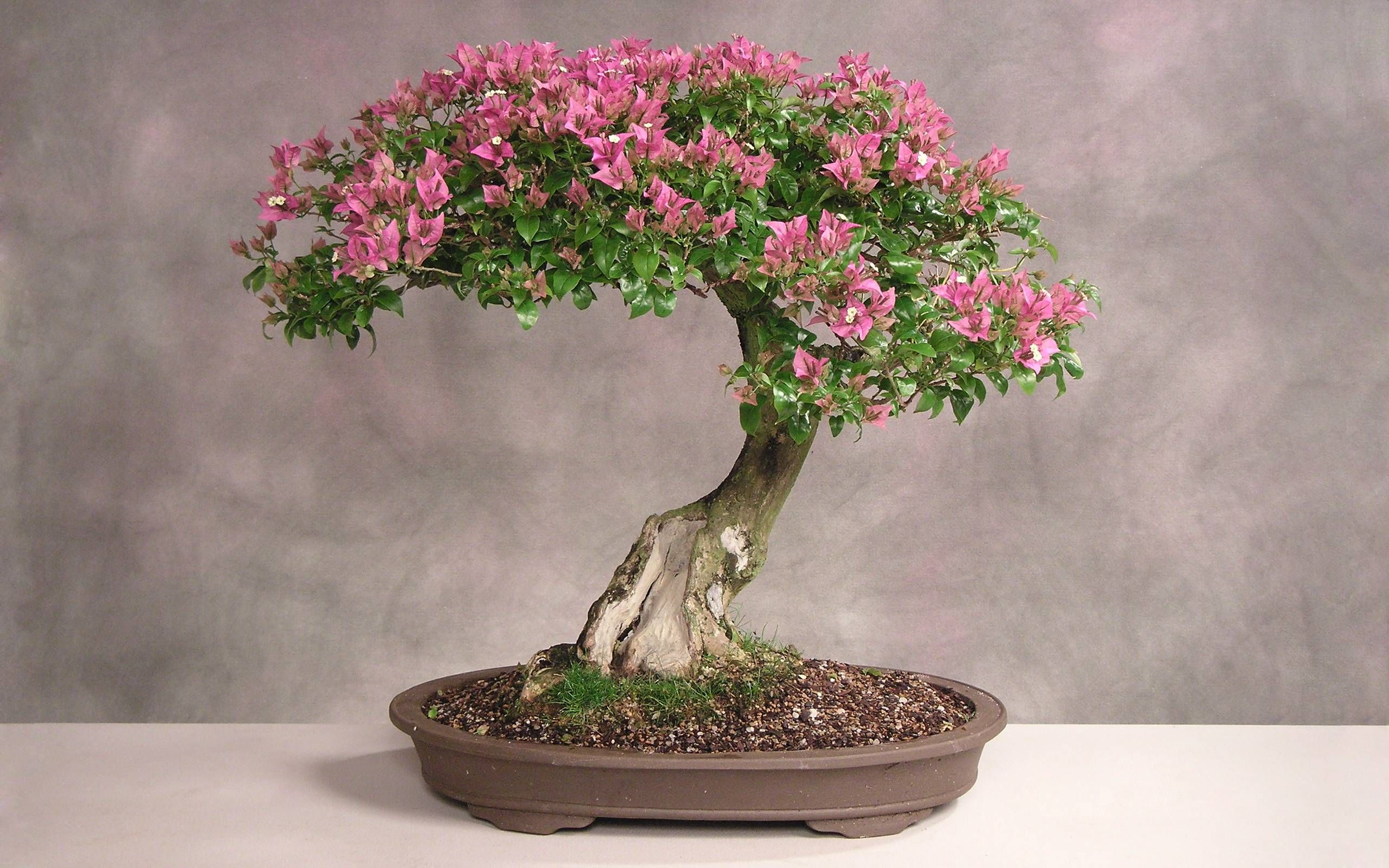 Download Bonsai Wallpaper 1600x1200 Wallpoper Bougainvillea Bonsai Cherry Blossom Bonsai Tree Bonsai Tree Care