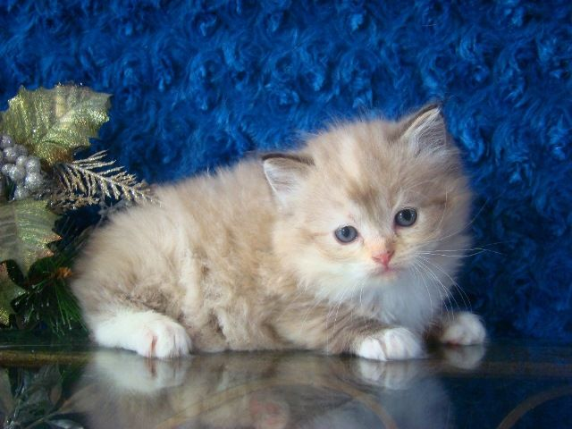 Ragdoll Kittens For Sale Buy Ragdoll Kittens Ragdoll Kittens For Sale Ragdoll Kitten Ragdoll Cat