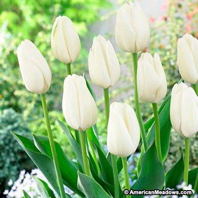 Hakuun Darwin Tulip Tulips Garden Bulb Flowers Tulip Bulbs