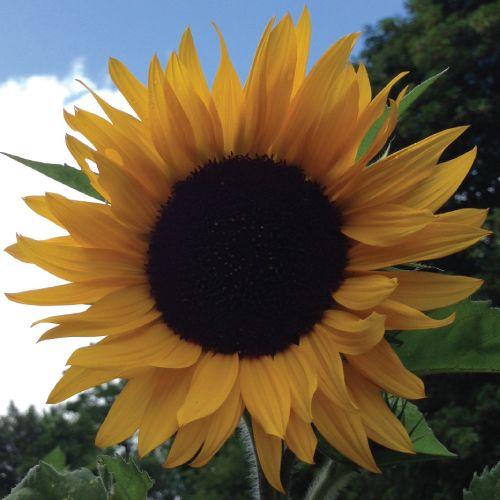 404 Giant Sunflower Seeds Mammoth Sunflower Giant Sunflower