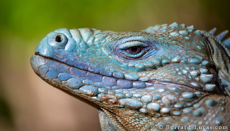 The Blue Iguana Or Grand Cayman Cyclura Lewisi Is An Endangered Species Of Lizard Genus Endemic To Island Caym