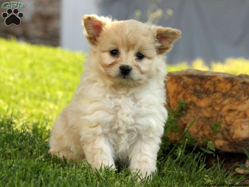 Bandy Pomapoo Puppy For Sale In Quarryville Pa Puppies