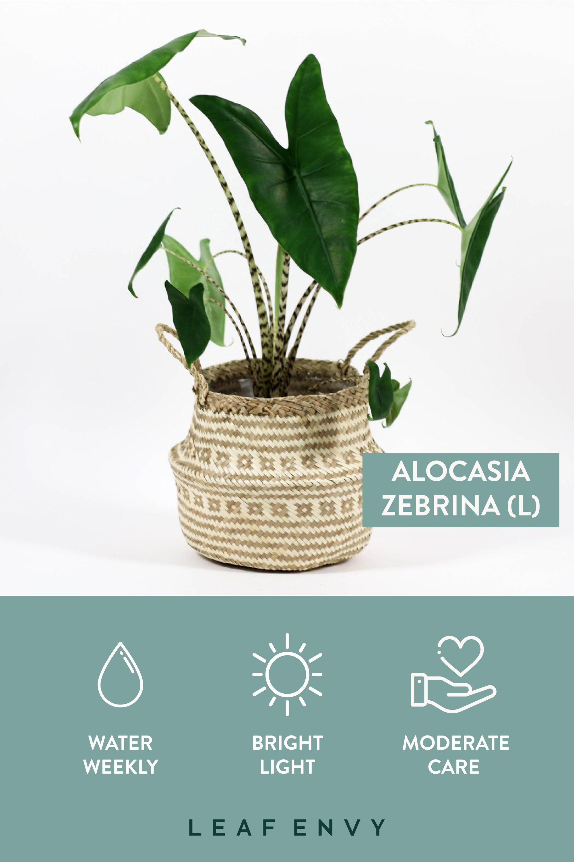 Alocasia zebrina Plants, Rare plants, Plant nursery