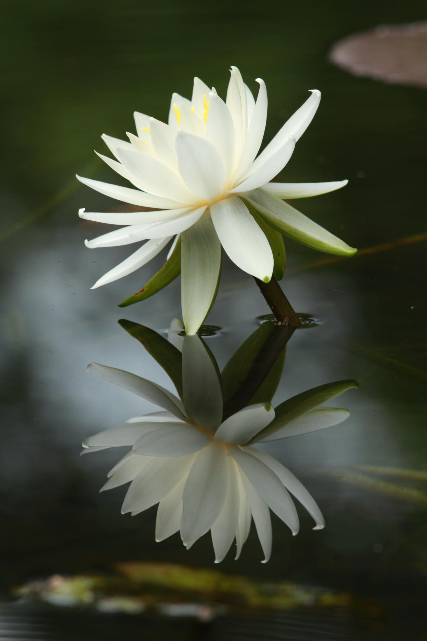 Flower In Dream  Water Lily In Pond