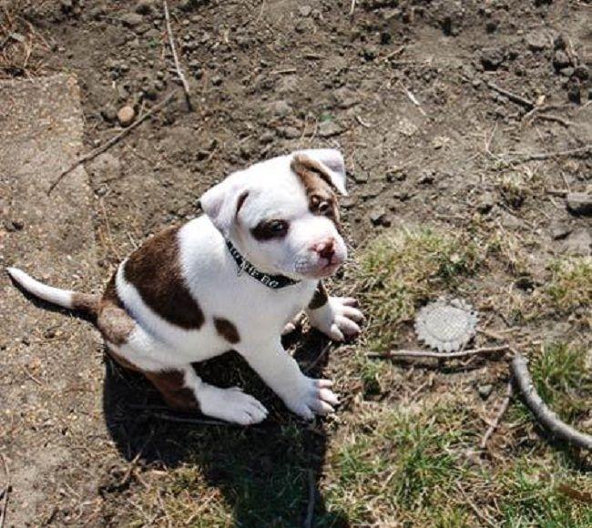 pitbull boxer mix puppies for sale Zoe Fans Blog