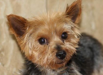 Petango Com Meet Sailor 8y 2m Terrier Yorkshire Available For