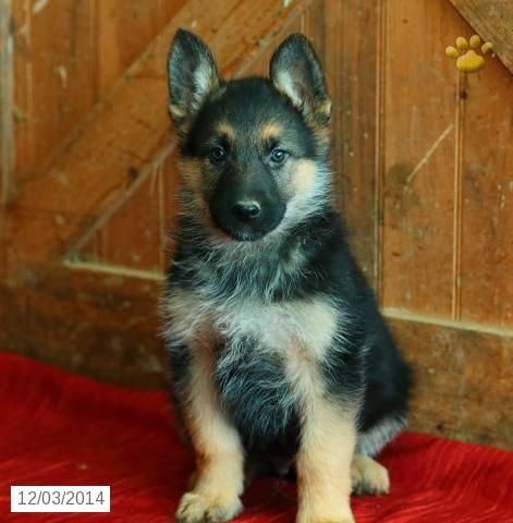 Champ German Shepherd Puppy For Sale In Litiz Pa German