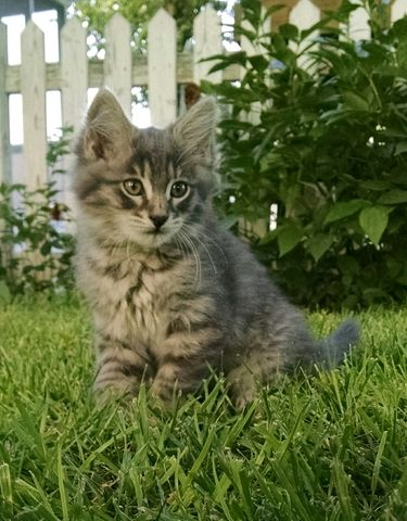 Fluffy Kittens to Give Away