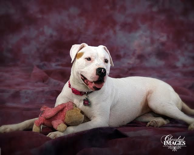 Meet Iris, a Petfinder adoptable American Bulldog Dog | Wymore, NE | I'm Iris, a 1 1/2 year old spayed American Bulldog. I'm one of the new kids on the Paws Up block....