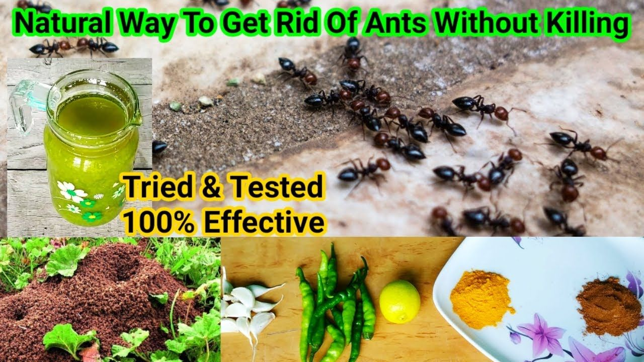 How To Get Rid Of Ants Forever In One Go, With Natural