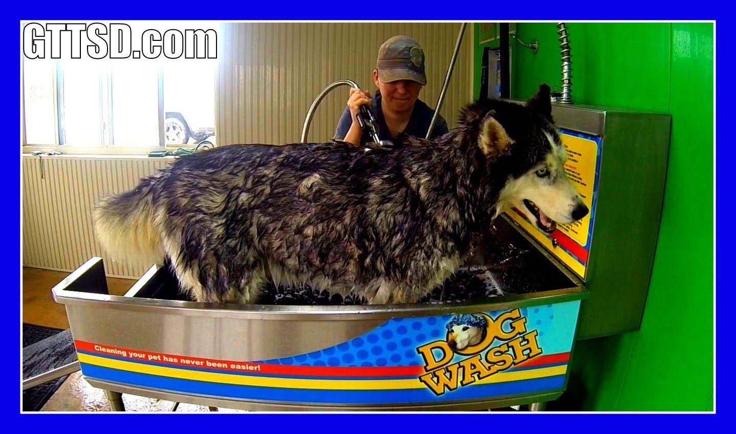 Siberian Husky Oakley Bath At The Dog Wash Gopro Dog Wash Dog
