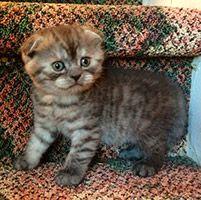 Scottish Fold Kittens For Sale At Celtic Folds Cattery Louisiana Scottish Fold Scottish Fold Kittens Cat Scottish Fold