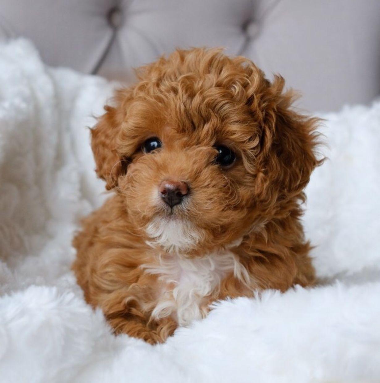 My Next Puppy A Cavapoochon Grace Puppies Cat Care Dog Friends