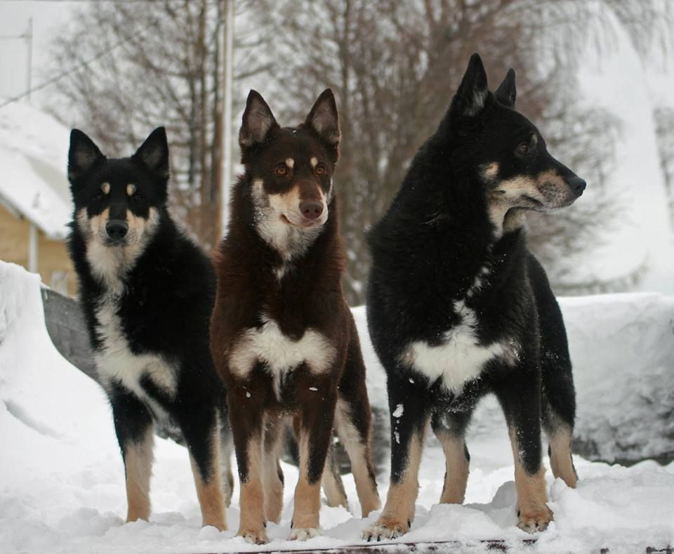Lapponian Herder Dog Dog Breeds American Kennel Club Purebred Dogs