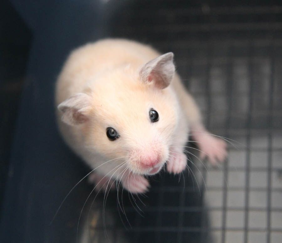 Not Too Long Ago I Had A Male Golden Syrian Hamster Named Cashew Sadly He Only Lived For A Few Months ハムスター ネズミ ちん