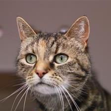Cookie Cat Rehoming & Adoption Wood Green Animals