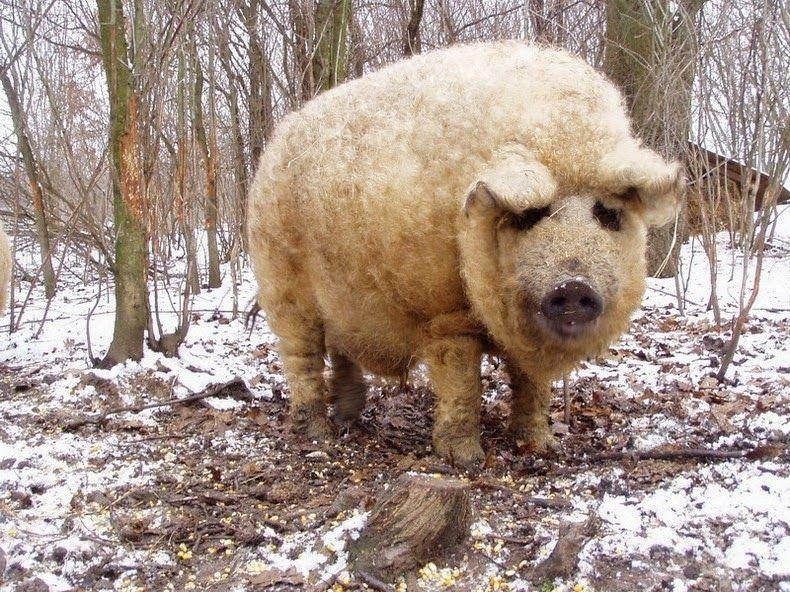 """WEDGE OAK FARM BLOG: Mangalitsa (MAHN-ga-leet-za) or """"Hog with a ..."""