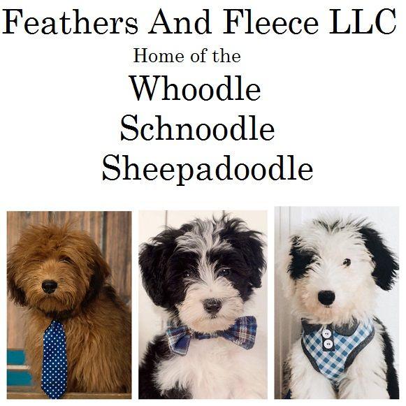 Sheepadoodle Puppies,Sheepadoodles Sheepadoodle puppy