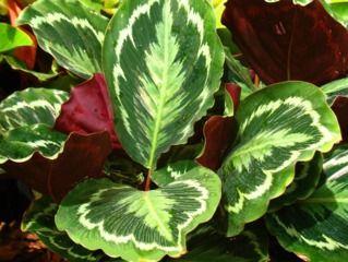 feuillage graphique de calathea makoyana plantes pinterest. Black Bedroom Furniture Sets. Home Design Ideas