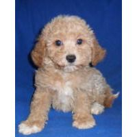 Puppies For Sale Bichpoo Bichonpoo Poochon Bichpoo Poochon F Category In Seville Ohio Maltipoo Puppy Maltipoo Puppies For Sale Puppies For Sale
