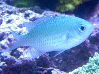 Good Starter Fish Fish Coral Reef Aquarium Fish Pet