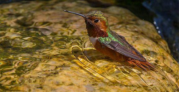 Humming Bird Bathing by Terry Honyoust