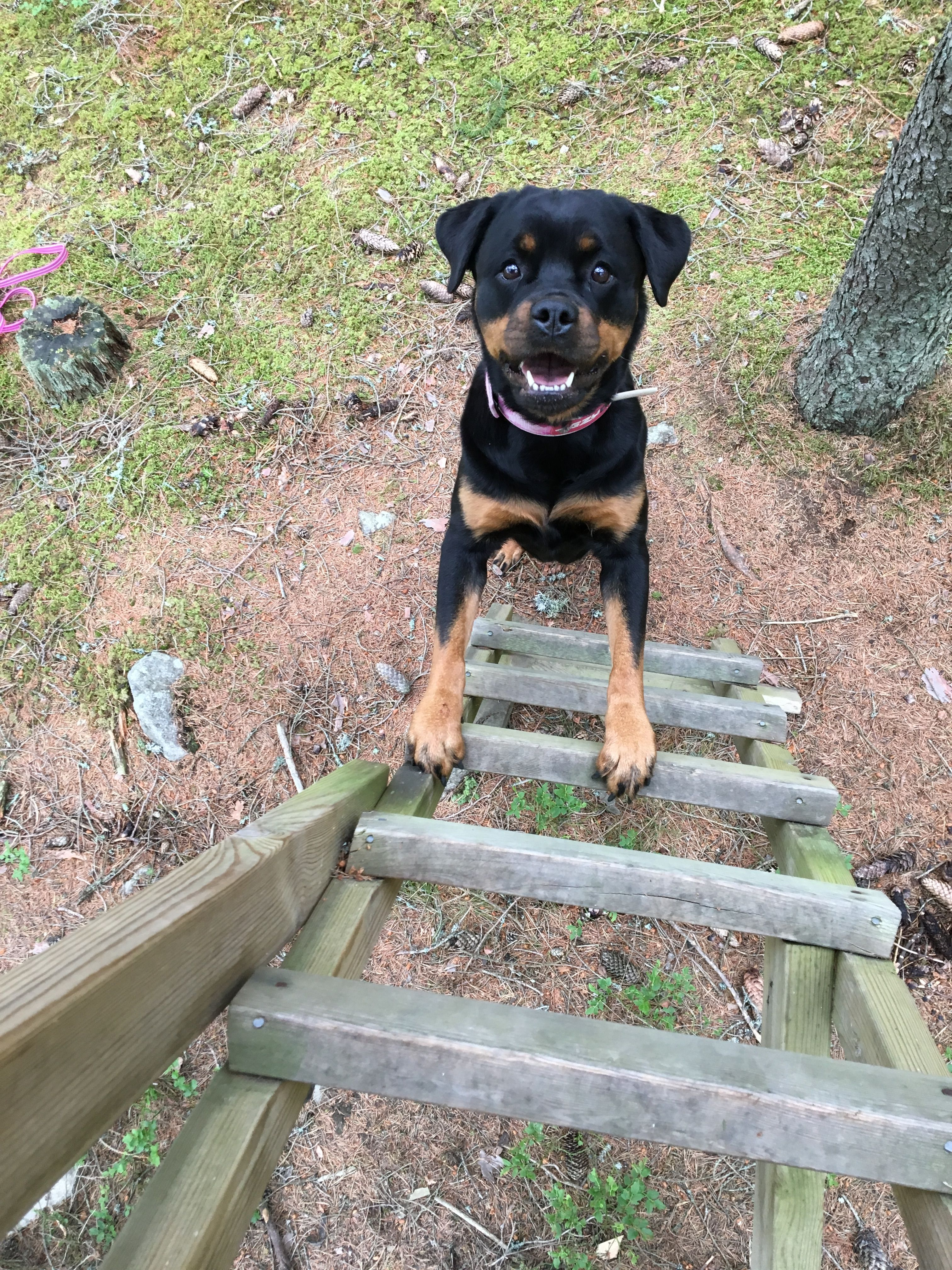 May I Come Up Big Dog Breeds Big Dogs Rottweiler Puppies