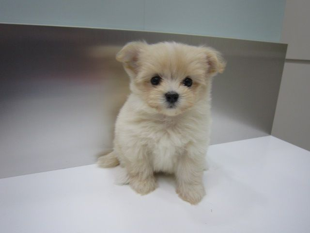 Pomeranian Dog Breed Information Pomeranian Mix Puppies