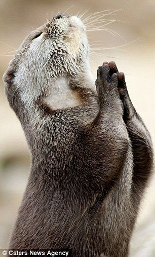 Dear God, please bring me a fish! Otter looks to the heavens and 'prays for food'