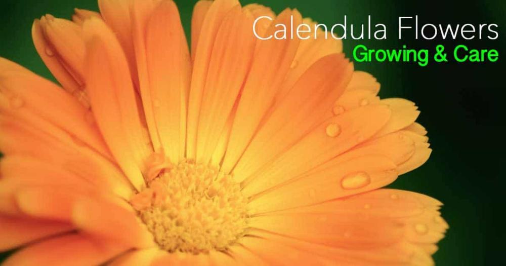 Growing Calendula Flowers Learn To Care For Calendula 400 x 300