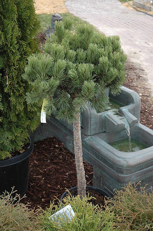 Mugo Pine Free Form (Pinus Mugo U0027var. Pumilio (tree Form)u0027