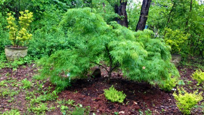 Acer Palmatum Dissectum Waterfall Plant On Either Side Of Walk At