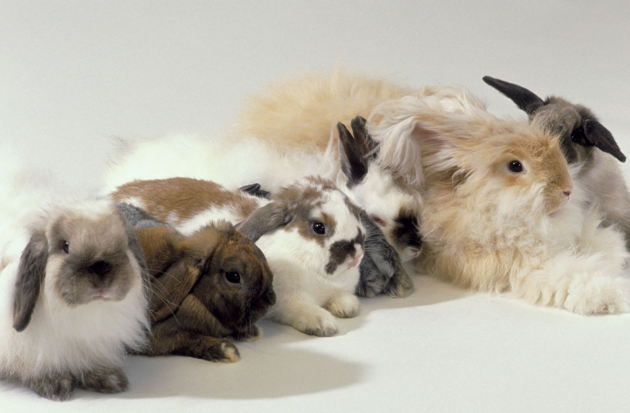 There Are Many Different Rabbit Color Variations Learn About The Different Patterns Of Rabbits Fur From Agouti To T Pet Rabbit Rabbit Colors Pet Rabbit Care